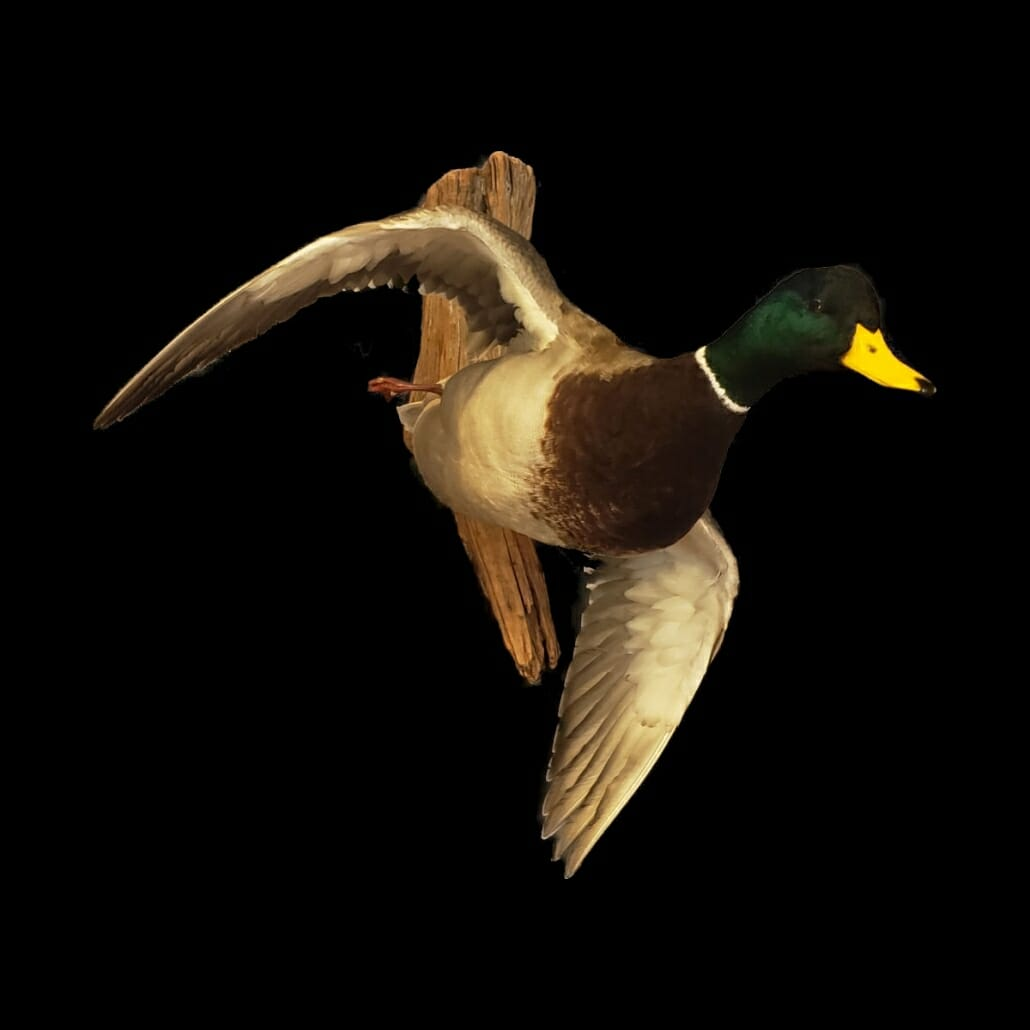 Mallard Duck Mount | Texas Waterfowl Taxidermy