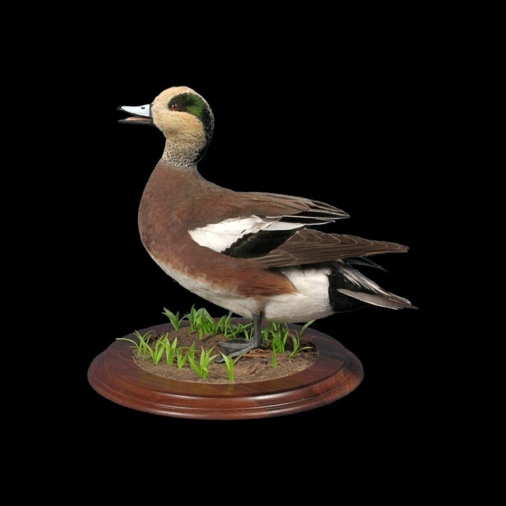 American Wigeon Mount | Texas Waterfowl Taxidermy