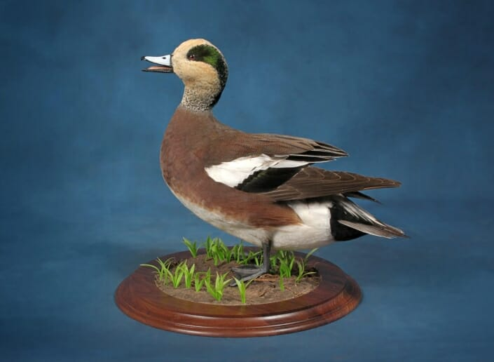 Storm Wigeon Mount | Puddle Duck Mounts | Texas Waterfowl Taxidermy