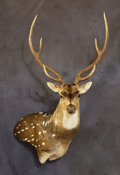 Axis Deer Shoulder Mount | Texas Exotic Taxidermy | South Texas Taxidermist