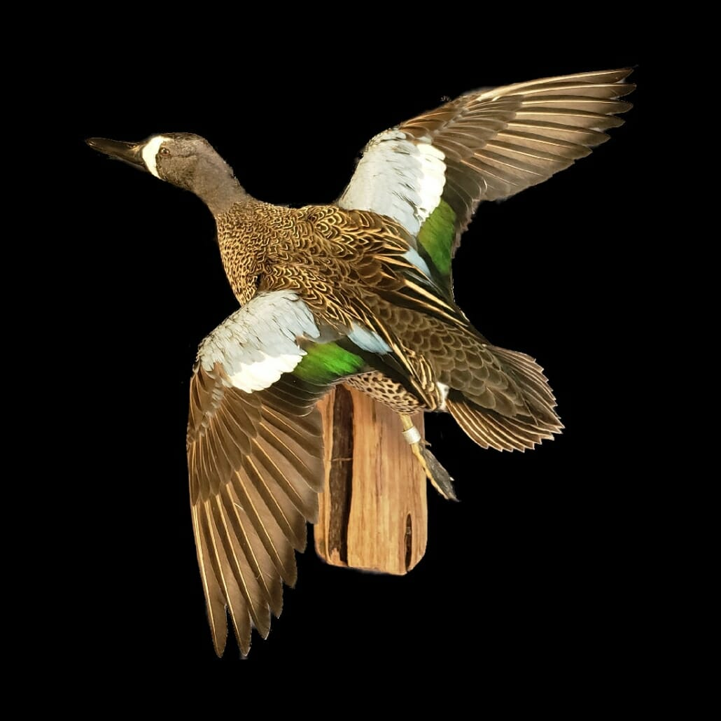 Blue Winged Teal Mount | Texas Waterfowl Taxidermy
