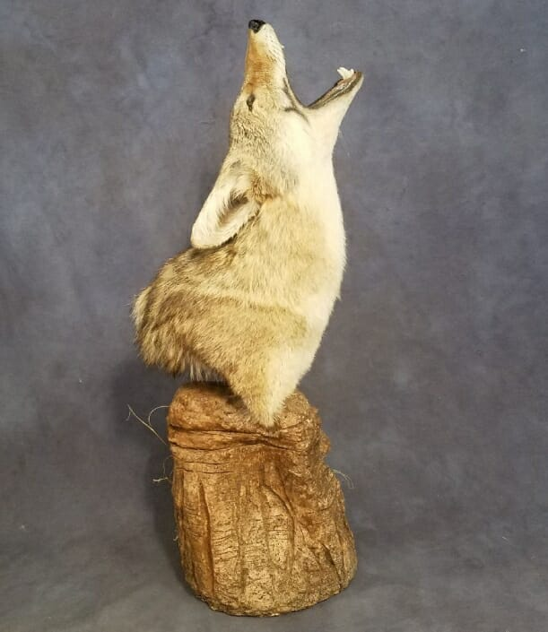 Coyote Shoulder Mount | Predator Taxidermy | Texas Taxidermy