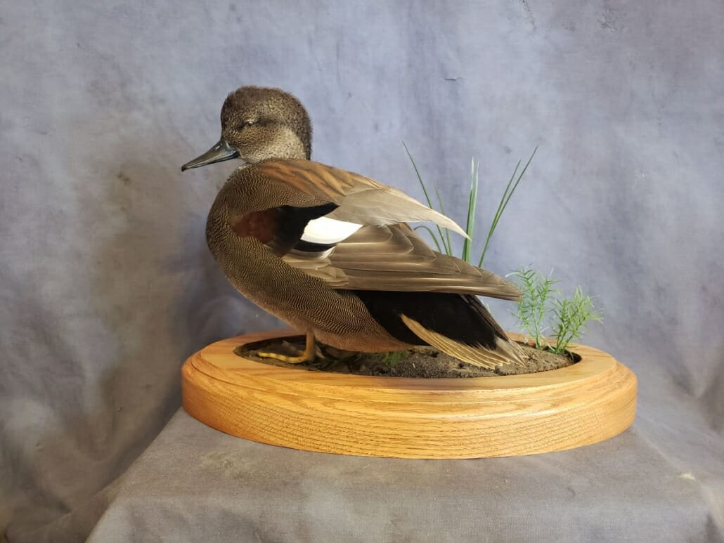 Gadwall Duck Mount | Puddle Duck Mounts | Texas Waterfowl Taxidermy