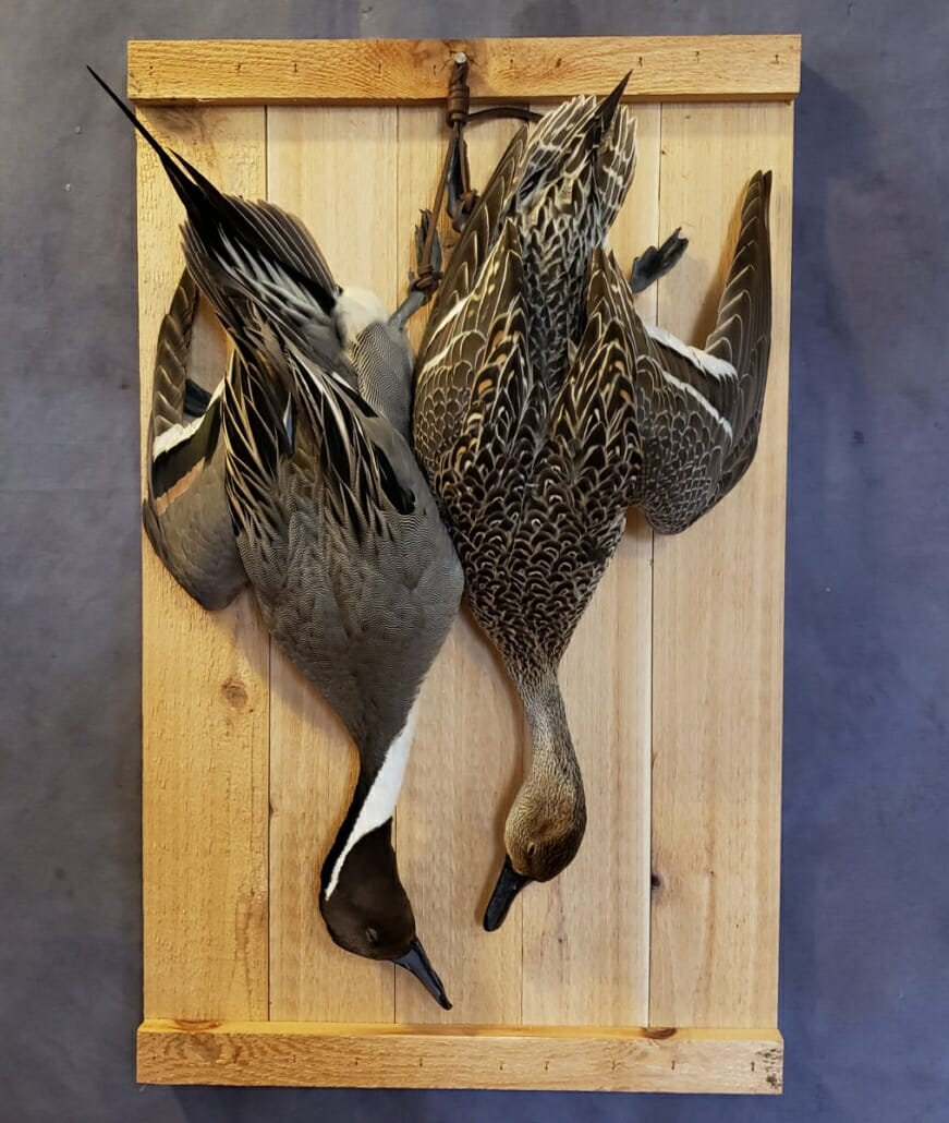 Pintail Duck Mount | Puddle Duck Mounts | Texas Waterfowl Taxidermy