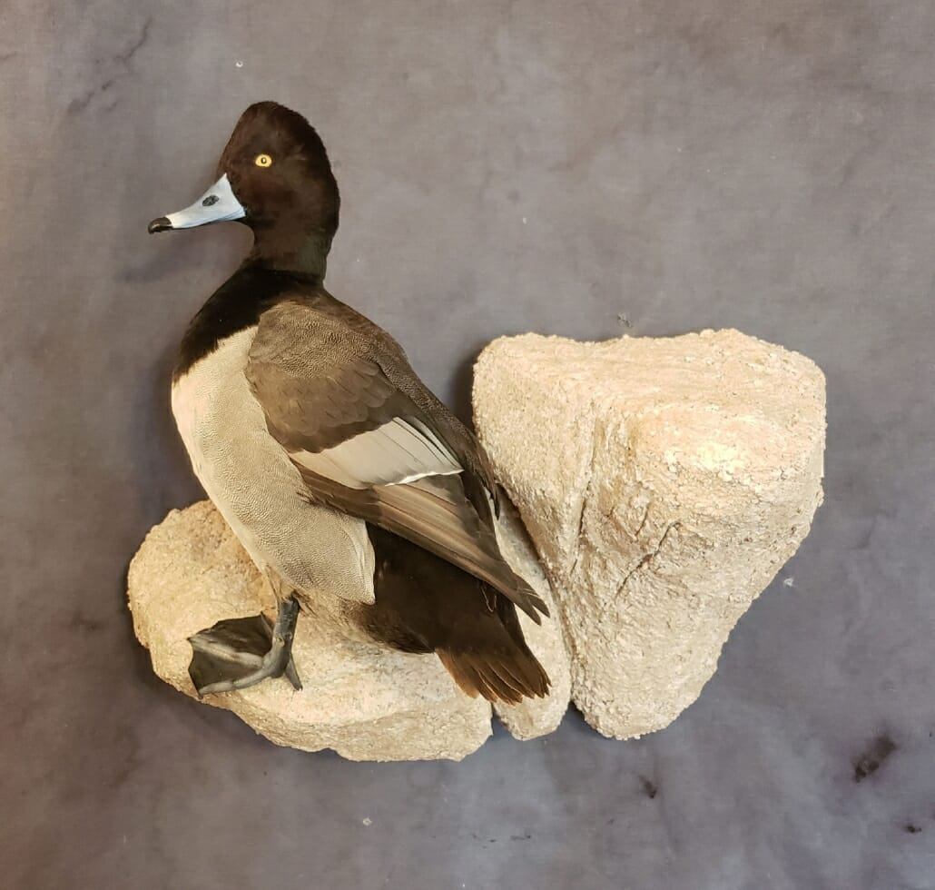 Greater Scaup Duck Mount | Diver Duck Mounts | Texas Waterfowl Taxidermy