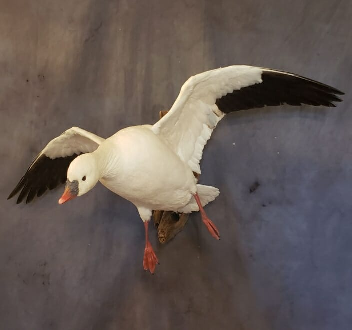 Snow Goose Mount   Goose Taxidermy   Texas Waterfowl Taxidermy