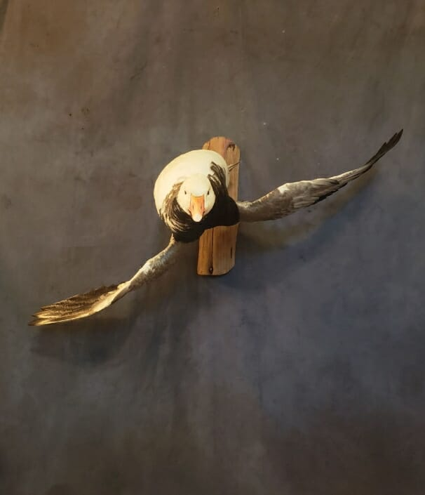 Snow Goose Mount | Goose Taxidermy | Texas Waterfowl Taxidermy