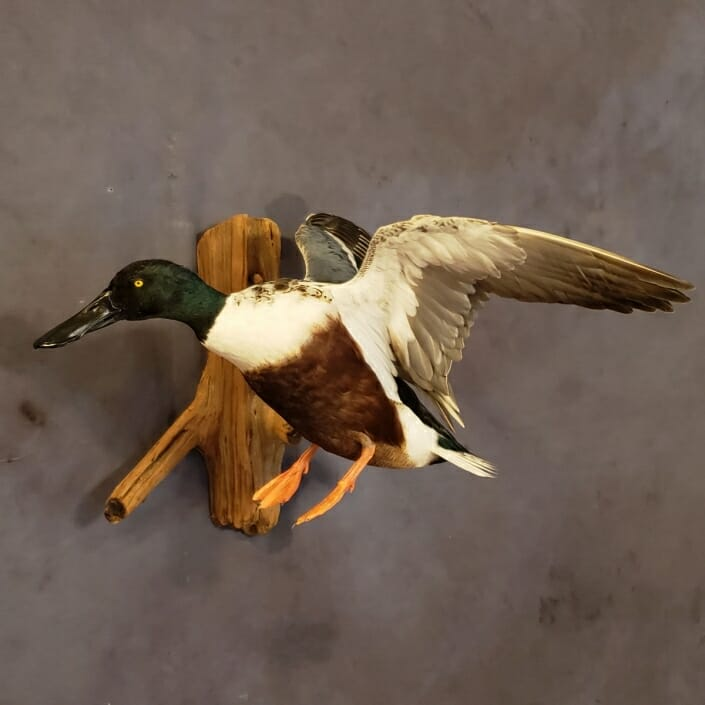 Spoonbill Duck Mount | Texas Waterfowl Taxidermy