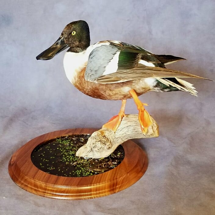 Spoonbill Duck Mount | Puddle Duck Mounts | Texas Waterfowl Taxidermy