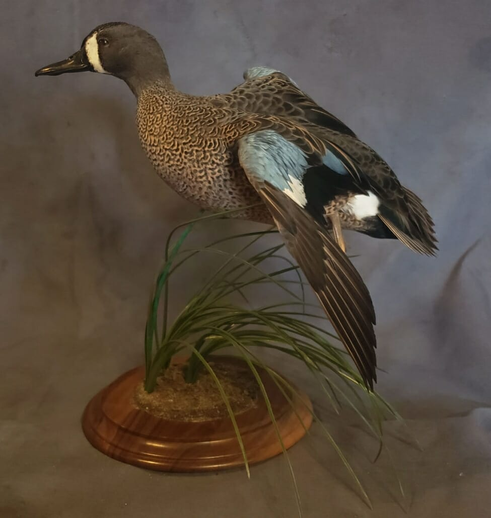 Blue Winged Teal Mount | Puddle Duck Mounts | Texas Waterfowl Taxidermy
