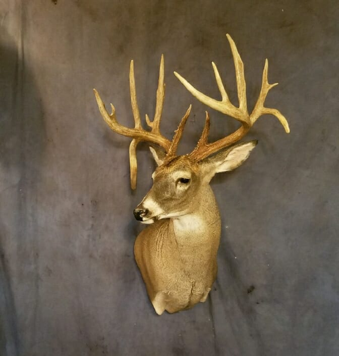 Whitetail Deer Shoulder Mount | Shoulder Mount Taxidermy | South Texas Big Game Taxidermy