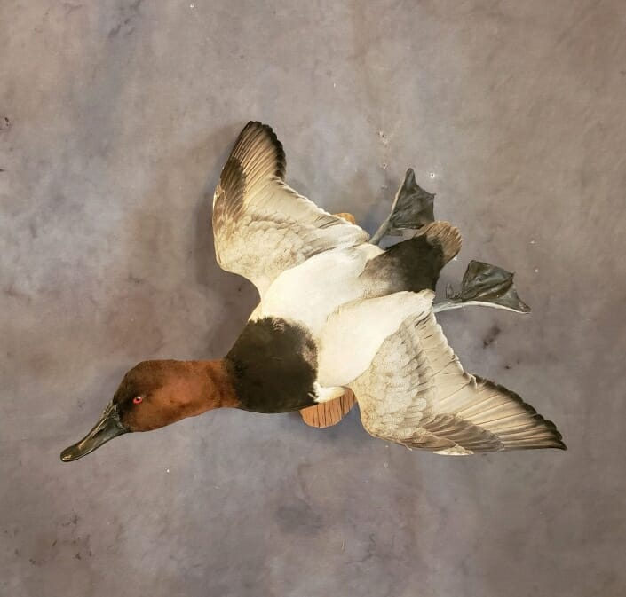 Flying Canvasback Mount | Drake Canvasback Duck Mounts