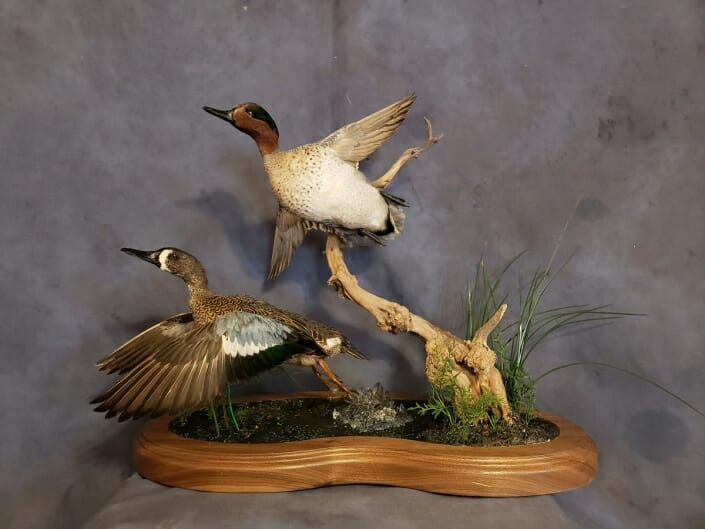Flying Blue Winged Teal Mount | Teal Duck Mounts