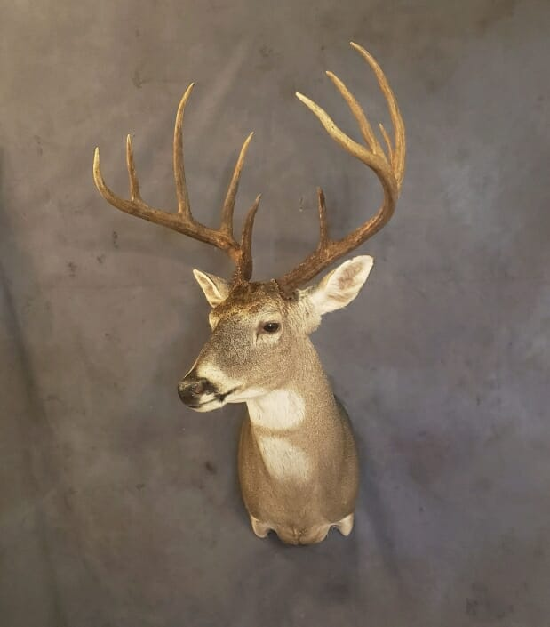 Whitetail Buck Mount | Whitetail Deer Shoulder Mount | Trophy Whitetail Mounts