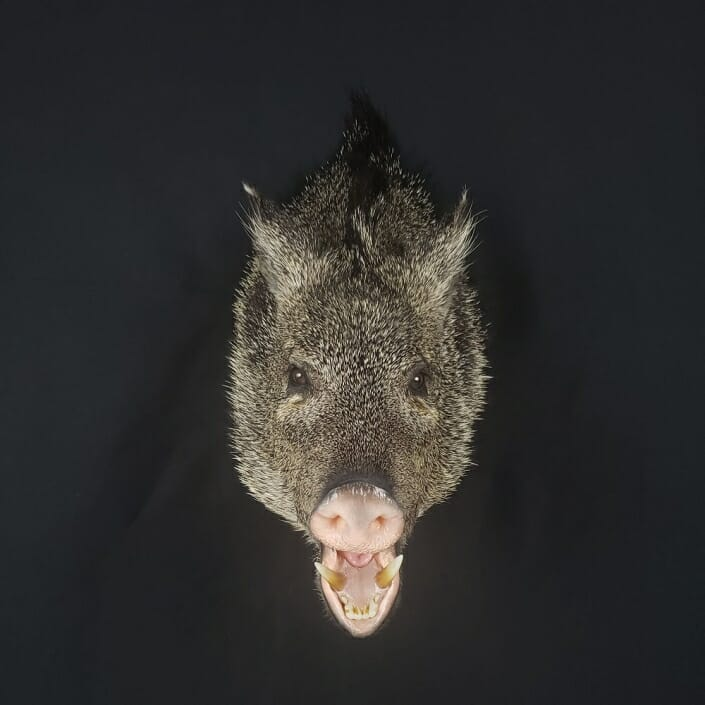 Javelina Shoulder Mount | Cypress Slough Taxidermy