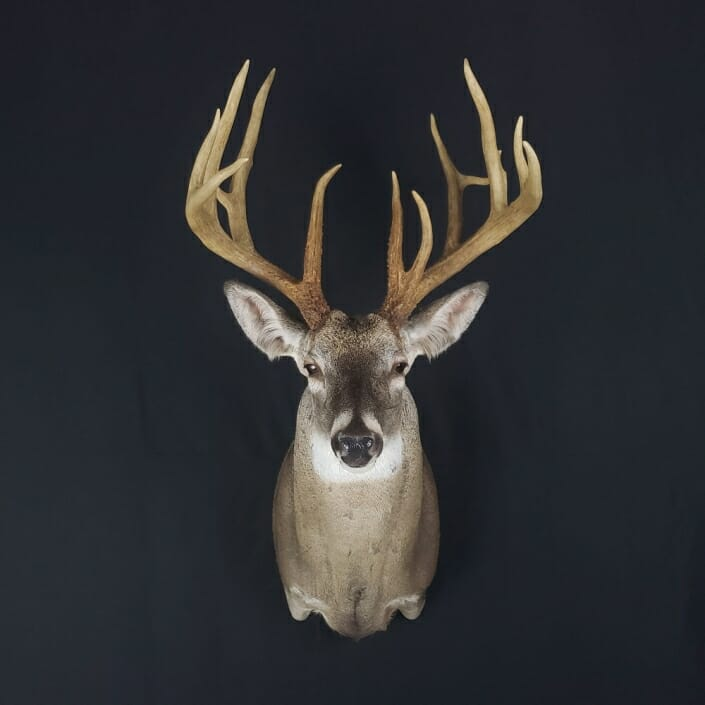 Whitetail Deer Shoulder Mount | Sierra Mesa Ranch Whitetails | Cypress Slough Taxidermy