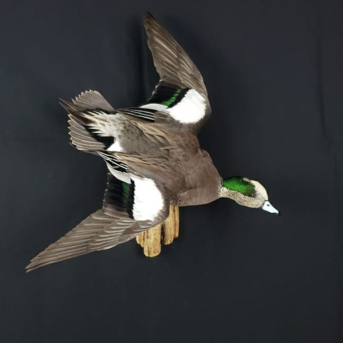 American Wigeon Mount