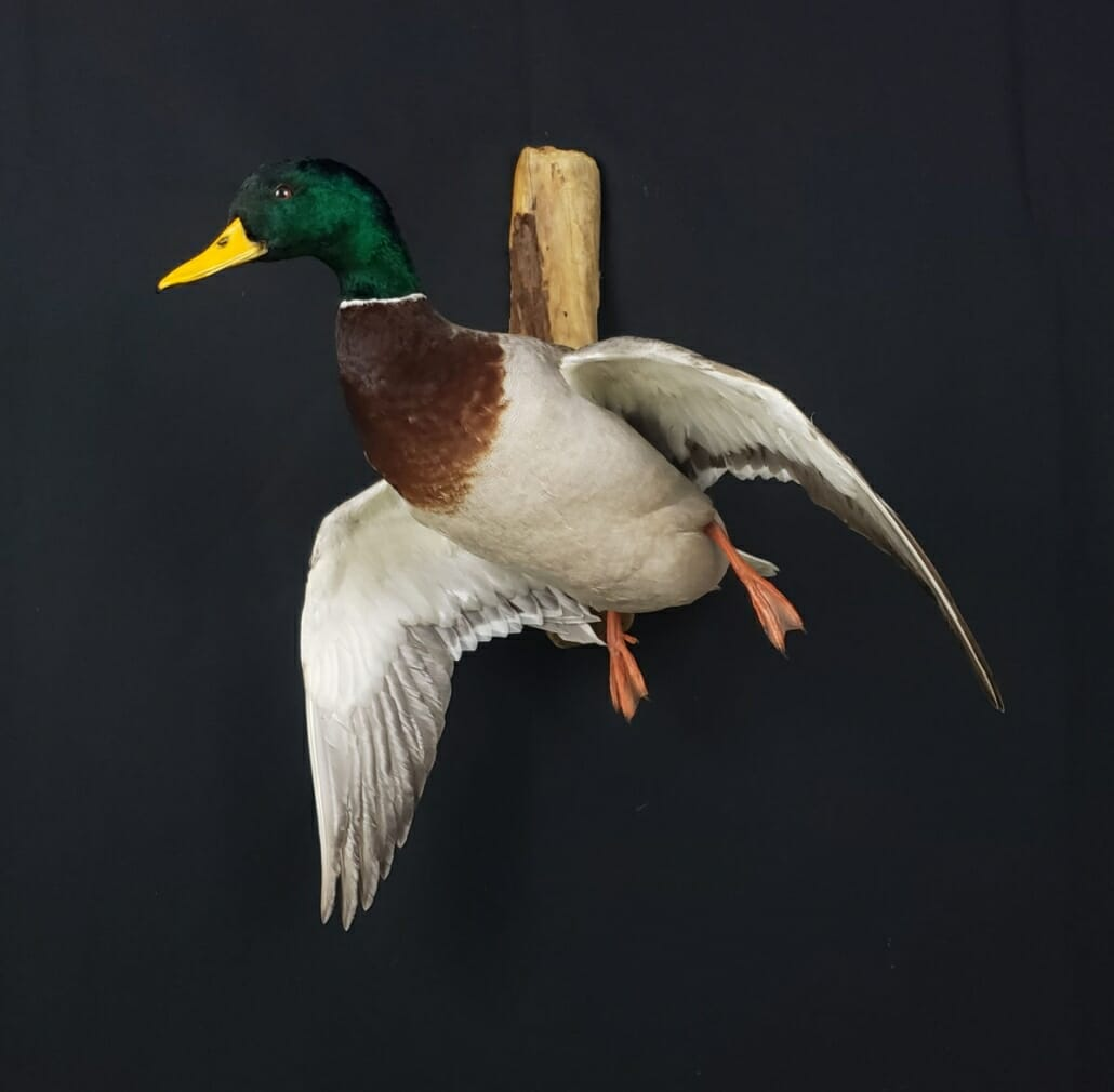 * TAXIDERMY BIRD KIT MALLARD DUCK *