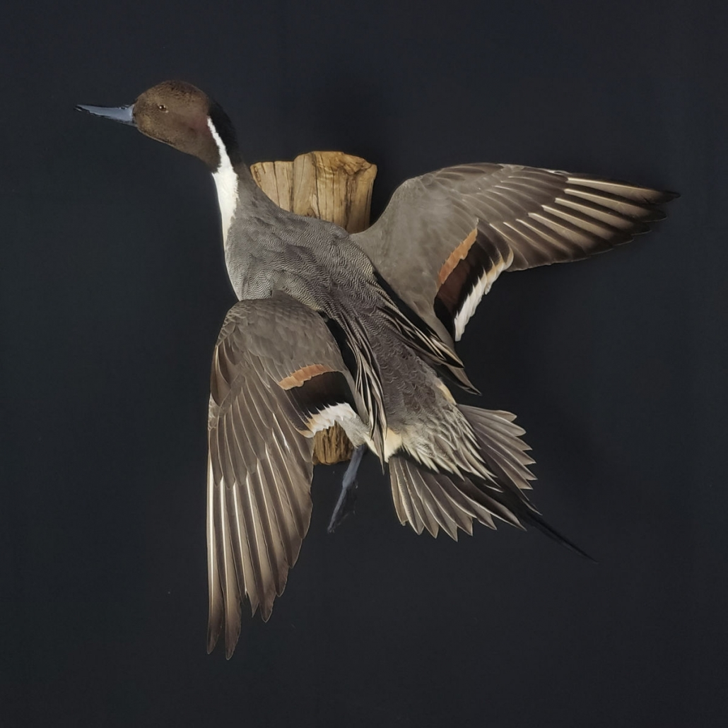 Flying Pintail Duck Mounts