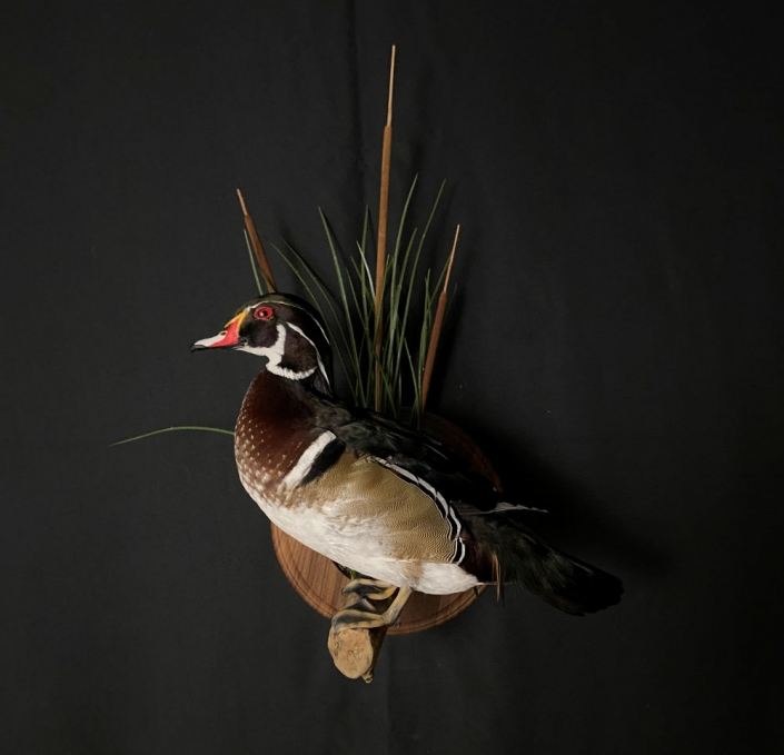 Woodduck Drake Mount | Flying Wood Duck Mount | Cypress Slough Taxidermy