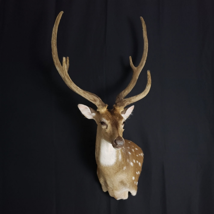 Velvet Axis Deer Shoulder Mount