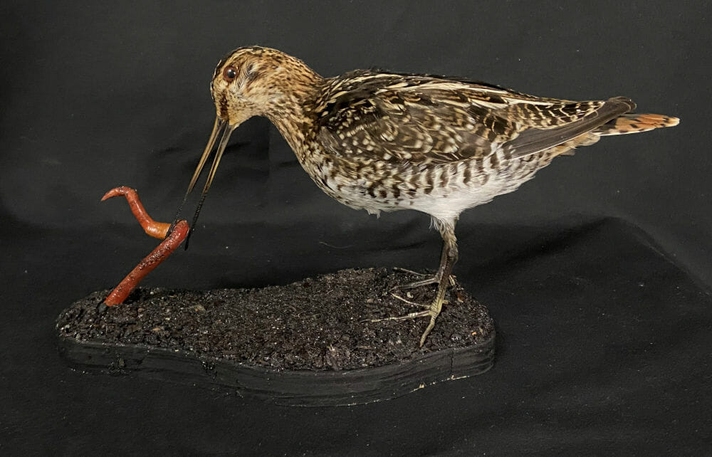 Snipe Mount | Waterfowl Taxidermy