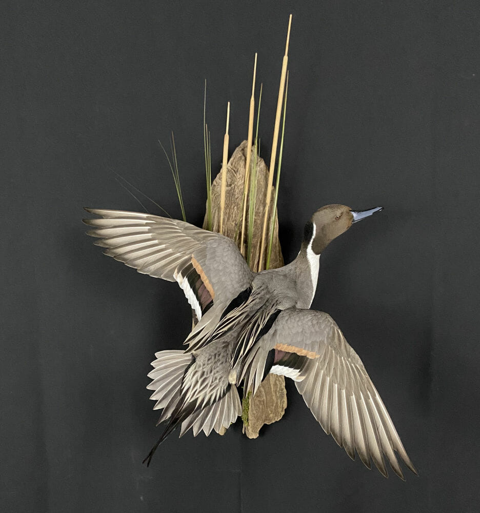 Flying Pintail Drake Mount | Duck Taxidermy In Texas