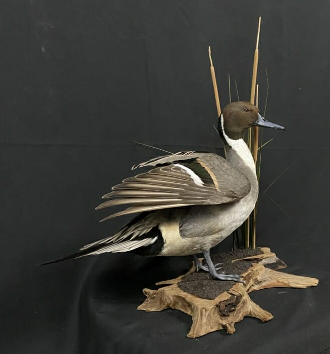 Standing Pintail Drake Mount | Duck Taxidermy In Texas