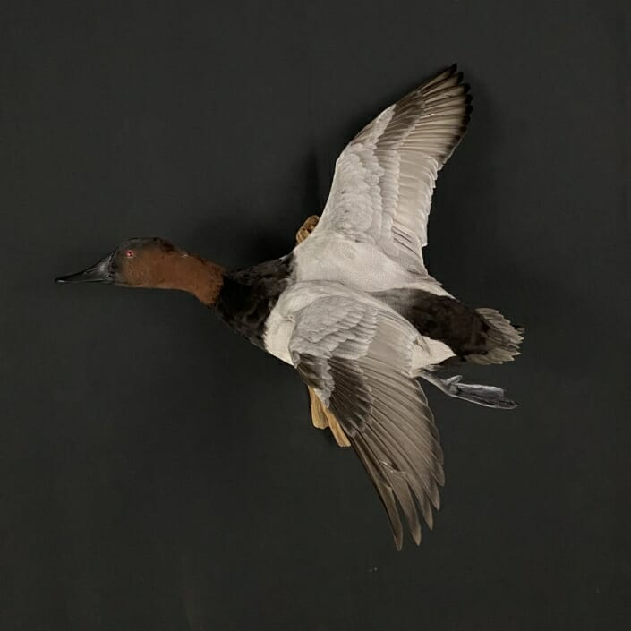 Canvasback Flying Drake Mount by Cypress Slough Taxidermy