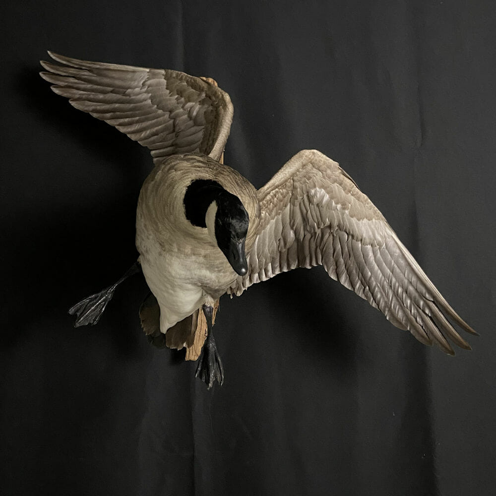 Cupped Up Canada Goose Mount   Cypress Slough Taxidermy