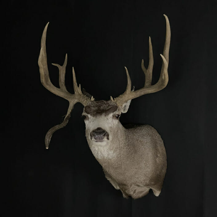 Droptine Mule Deer Buck Shoulder Mounts | Cypress Slough Taxidermy