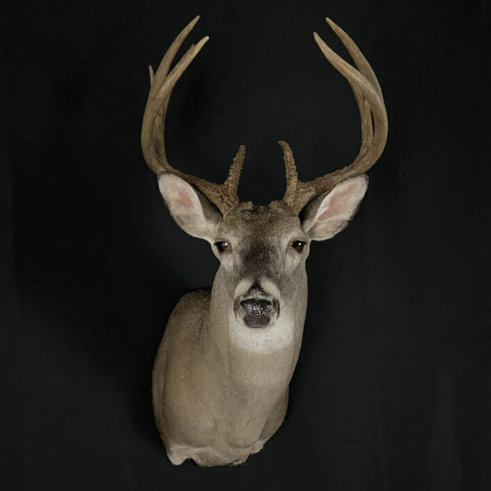 Whitetail Deer Shoulder Mount | Cypress Slough Taxidermy