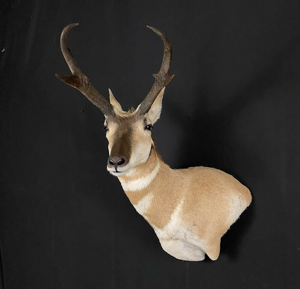 Pronghorn Taxidermy | Antelope Buck Mount